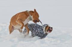美国斯塔福德郡使用在雪的狗狗 免版税库存图片