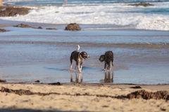 美国斯塔福德郡狗和狮子狗 免版税库存照片