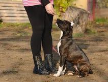 年轻美国斯塔福德郡狗在公园 免版税库存照片