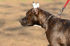 年轻美国斯塔福德郡狗在公园 库存图片