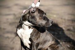 年轻美国斯塔福德郡狗在公园 图库摄影