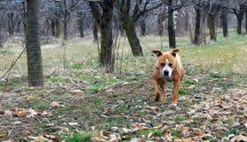 美国斯塔福德郡狗在绿草草坪 库存照片