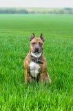 美国斯塔福德郡狗坐在领域的一棵年轻草 免版税图库摄影