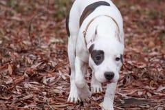 美国斯塔福德郡狗小狗在秋天公园走 宠物 库存图片