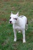 美国斯塔福德郡狗小狗在绿草站立 宠物 免版税库存图片