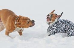 美国斯塔福德郡狗狗有滑稽的戏剧在胜利 免版税库存图片