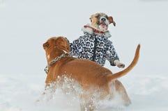美国斯塔福德郡狗狗获得乐趣在冬天 库存图片
