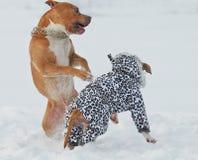 美国斯塔福德郡狗狗获得乐趣在雪 免版税图库摄影