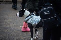 美国斯塔福德郡狗白黑在一件温暖的背心在脚训犬者旁边站立 图库摄影