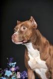美国斯塔福德郡狗 库存图片