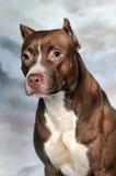美国斯塔福德郡狗 免版税库存图片