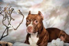 美国斯塔福德郡狗 免版税图库摄影