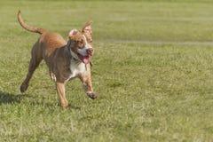 年轻美国斯塔福德郡狗 库存图片