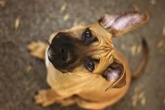 年轻美国斯塔福德郡狗 免版税库存照片