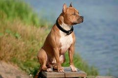 美国斯塔福郡在海滩的狗狗 库存照片