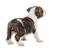 美国斯塔福郡狗的背面图 图库摄影