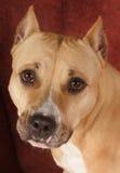 美国斯塔福郡狗 库存照片