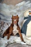 美国斯塔福郡狗 免版税库存照片