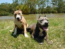 美国斯塔福郡狗 免版税图库摄影
