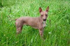 美国无毛的狗小狗在绿草站立 免版税库存图片