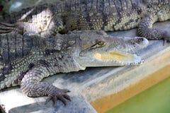 美国有浴的鳄鱼南星期日 库存图片