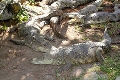 美国有浴的鳄鱼南星期日 免版税库存图片