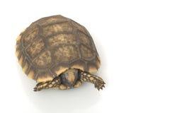 美国有脚的南草龟黄色 库存照片