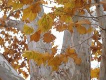 美国梧桐叶子和白色吠声 图库摄影