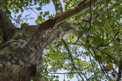 美国梧桐底部,与绿色叶子的老树干,夏季 免版税库存照片
