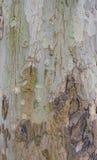 美国梧桐树皮。 免版税库存照片