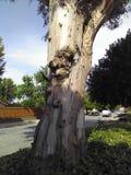 美国梧桐树 免版税库存照片