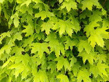 美国梧桐槭树绿色叶子 免版税图库摄影