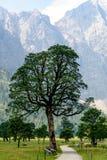 美国梧桐槭树 免版税库存图片