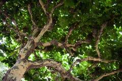美国梧桐结构树 图库摄影