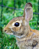 美国棉尾巴兔子 免版税图库摄影