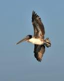 美国棕色飞行鹈鹕 免版税库存图片