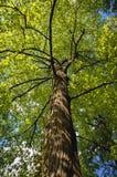 美国椴树 库存照片