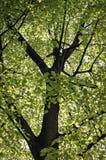 美国椴树 免版税库存图片