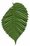 美国榆叶子结构树 免版税库存图片