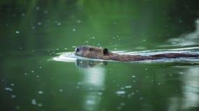 美国海狸 库存照片