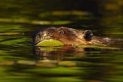 美国海狸 图库摄影