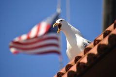 美国海鸥 图库摄影