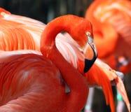 美国火鸟 免版税图库摄影
