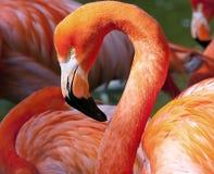 美国火鸟- Phoenicopterus ruber 免版税图库摄影