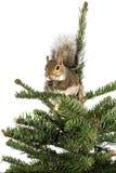 美国灰色云杉的灰鼠顶层结构树 图库摄影