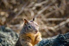 美国灰色灰鼠 免版税库存照片