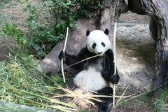 美国熊猫 免版税库存图片