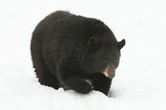 美国熊黑色 免版税库存照片