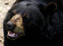 美国熊黑色 免版税库存图片