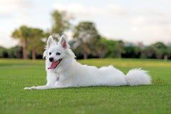 美国爱斯基摩小狗 库存图片